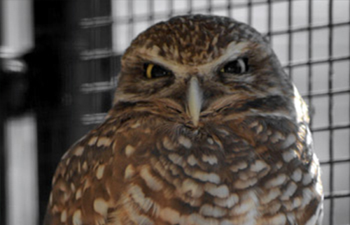 burrowing_owl_cropped
