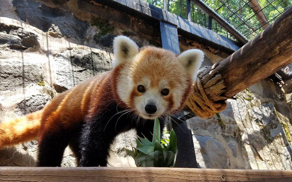 red_panda_trimmed
